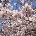平成最後の桜満開