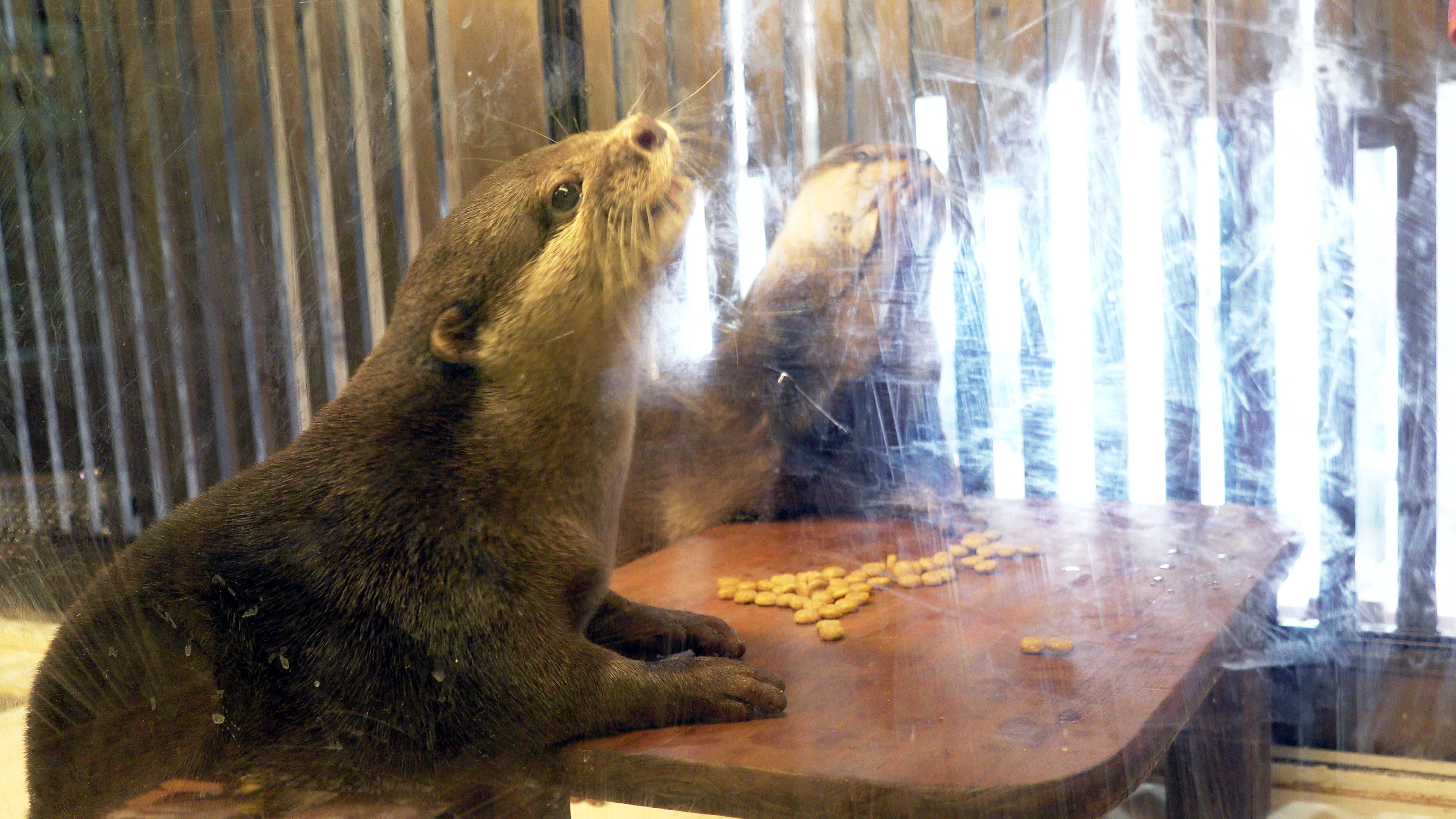 テーブルで行儀よく食事をするかわうそ